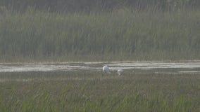 Spoonbills que forrajean en pantano almacen de metraje de vídeo