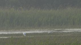 Spoonbills que forrajean en pantano almacen de video