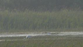Spoonbills que forrajean en pantano metrajes