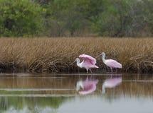Spoonbills róseos Imagens de Stock