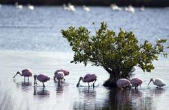 Spoonbills róseos Foto de Stock Royalty Free