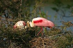 Spoonbills róseos Fotografia de Stock Royalty Free