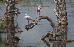 Spoonbills róseos Fotos de Stock