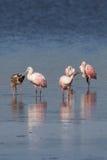 Spoonbills róseos e íbis brancos juvenis, J n `` Ding `` Darlin Imagens de Stock