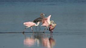 Spoonbills róseos e Egret avermelhado, J n `` Ding `` Darling Nati Imagem de Stock Royalty Free