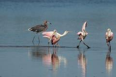Spoonbills róseos e Egret avermelhado, J n `` Ding `` Darling Nati Foto de Stock
