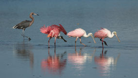 Spoonbills róseos e Egret avermelhado, J n `` Ding `` Darling Nati Fotos de Stock