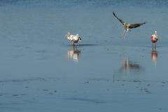 Spoonbills róseos e voo branco juvenil dos íbis, J n `` Ding `` Fotos de Stock
