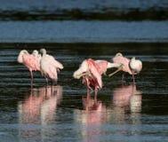 Spoonbills róseos, J n `` Ding `` Darling National Wildlife Refu Fotografia de Stock