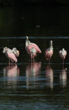 Spoonbills róseos, J n `` Ding `` Darling National Wildlife Refu Foto de Stock