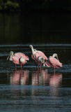 Spoonbills róseos, J n `` Ding `` Darling National Wildlife Refu Fotos de Stock