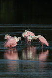 Spoonbills róseos, J n `` Ding `` Darling National Wildlife Refu Foto de Stock Royalty Free