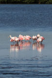 Spoonbills róseos, J n `` Ding `` Darling National Wildlife Refu Imagem de Stock
