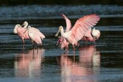Spoonbills róseos, J n `` Ding `` Darling National Wildlife Refu Imagens de Stock