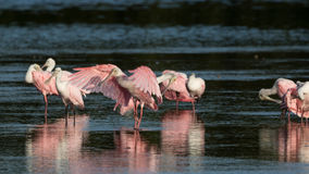 Spoonbills róseos, J n `` Ding `` Darling National Wildlife Refu Imagem de Stock Royalty Free