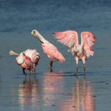 Spoonbills róseos, J n `` Ding `` Darling National Wildlife Refu Fotografia de Stock Royalty Free