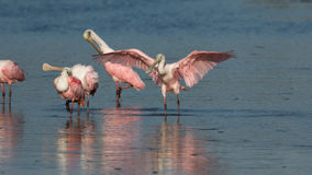 Spoonbills róseos, J n `` Ding `` Darling National Wildlife Refu Imagens de Stock Royalty Free