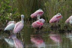 Spoonbills róseos que descansam, Merritt Island National Wildlife Ref fotos de stock royalty free