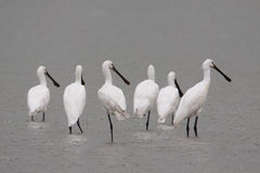 Spoonbills resting Stock Photo