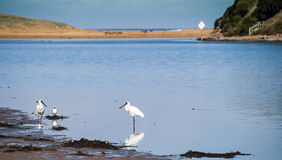 Spoonbills at the river. Spoonbill birds fossicking at the edge of a river bank Royalty Free Stock Photos