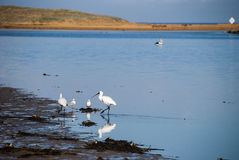 Spoonbills at the river. Spoonbill birds fossicking at the edge of a river bank Royalty Free Stock Image