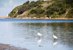 Spoonbills at the river. Spoonbill birds fossicking at the edge of a river bank Stock Image