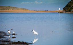 Spoonbills at the river. Spoonbill birds fossicking at the edge of a river bank Royalty Free Stock Photo
