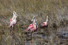 Spoonbills rosados Imagenes de archivo