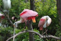 Spoonbills rosados Fotografía de archivo libre de regalías