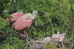 Spoonbills rosados con los polluelos en jerarquía Fotografía de archivo