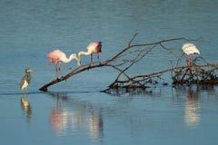 Spoonbills rosados en Ding Darling National Wildlife Refuge Imagen de archivo libre de regalías