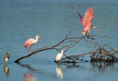 Spoonbills rosados en Ding Darling Wildlife Refuge Foto de archivo