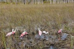 Spoonbills rosados en un pantano Imagen de archivo