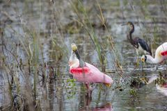 Spoonbills rosados en un pantano Fotografía de archivo libre de regalías