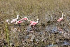Spoonbills rosados en un pantano Foto de archivo
