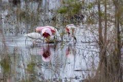 Spoonbills rosados en un pantano imagenes de archivo