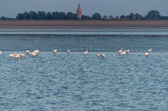 Spoonbills wading in shallow water Stock Image