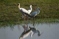 Spoonbills & a Yellow Billed Stork Royalty Free Stock Photos