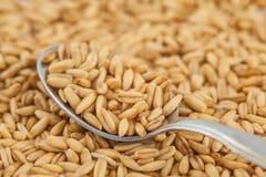 Spoonful of oat & x28;Avena sativa& x29; Stock Image