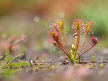 Spoonleaf sundew Stock Photo