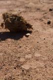 Spoor del león Foto de archivo libre de regalías