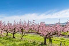 Spoorwegsporen onder perzikbomen met fungiciden worden behandeld dat stock foto