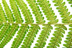 Sporangium on leaf fern closeup Royalty Free Stock Photography