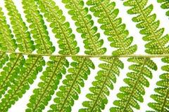 Sporangium on leaf fern closeup Royalty Free Stock Photography