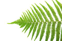 Sporangium on leaf fern Stock Images
