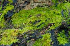 Spore del muschio della corteccia di albero Immagini Stock Libere da Diritti
