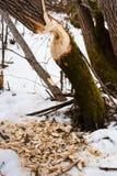 Sporen van bevers in het hout Royalty-vrije Stock Fotografie