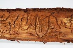 Sporen van kevers onder de schors op een nette boom Stock Foto's