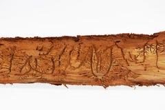Sporen van kevers onder de schors op een nette boom Stock Afbeelding