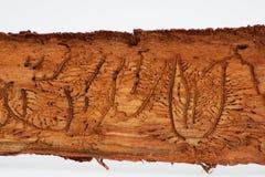 Sporen van kevers onder de schors op een nette boom Stock Fotografie